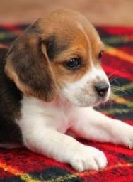 Filhotes de Beagle disponíveis macho e fêmea