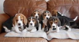 Filhotinhos de beagle, machinhos e fêmeas com garantias de vida e saúde