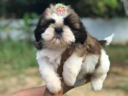 Shih tzu mine pedigree