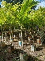 Palmeira Indiana MUDAS 2 ANOS