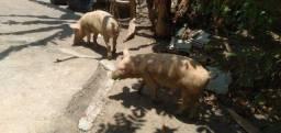 Título do anúncio: Casal de Porcos