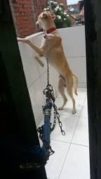 Animal dorcio ( doação)
