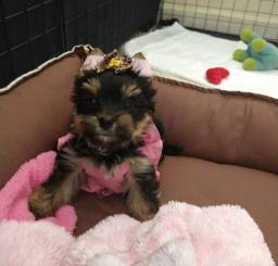 Menina linda de yorkshire terrier de porte pequeno