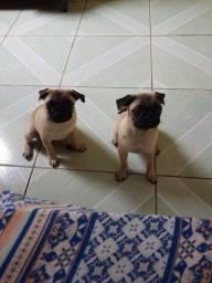 Vendo casal de Pug .