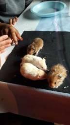 Título do anúncio: Vendo hamster sírio