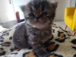 Título do anúncio: Filhote gato persa femea