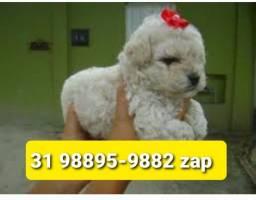Filhotes Selecionados Cães BH Poodle Basset Yorkshire Maltês Shihtzu Lhasa