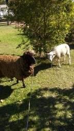 Vendo duas ovelhas