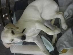 Cachorro Labrador Fêmea