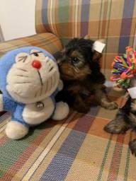 Yorkshire Terrier Fêma Micro