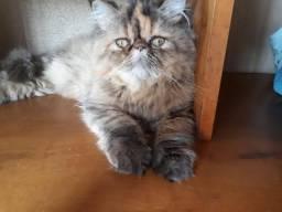 Casal de Gatos Persas focinho zero