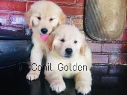 Golden Retrivier Filhote com Pedigre e Garantia de Saúde
