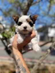Biewer terrier filhotes com suportes veterinários 24h