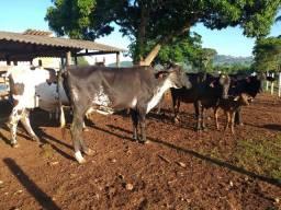 Vacas girolando