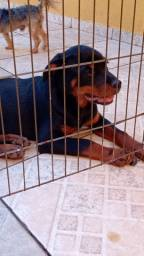 Vendo Rottweiler femia