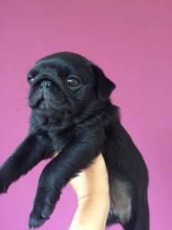 Pug filhote macho fêmea preto