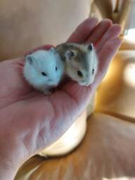 Hamster Anão Russo