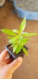 Hygrophila Corymbosa Linda Planta Aquario Plantado