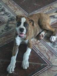 Filhote de Boxer macho 2 meses