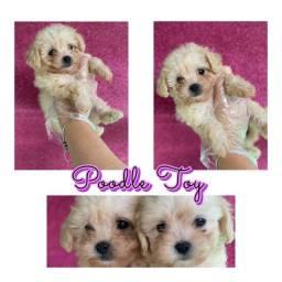 Poodle Toy com pedigree microchip até em 18x