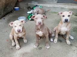 Filhotes de american pitbulls 0219(7640-62-81)