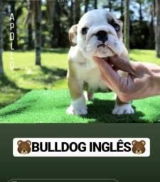 Buldogue inglês
