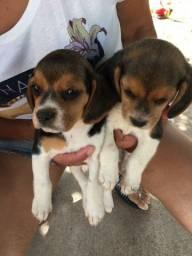 Beagle fêmea 1.500