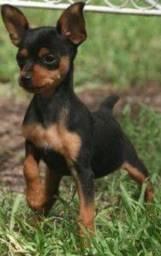 Pinscher machinho lindo com pedigree!!