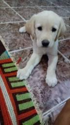 Vendo filhote fêmea de Labrador.