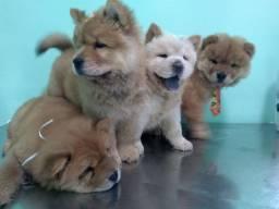 Lindos filhotes Chow Chow com pedigree cbkc