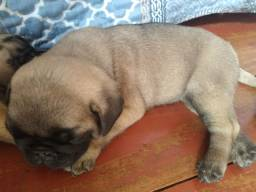 Vendoo Pug macho