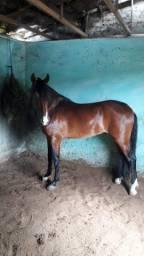 Cavalo Mangalarga Marchador!