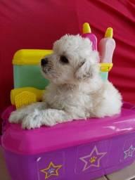 Vendo filhotes   poodle toy
