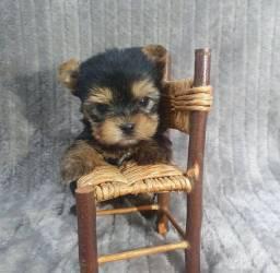 Filhote de yorkshire terrier fêmea de porte pequeno disponível a pronta entrega