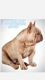 Filhote macho de bulldog frances portadores de Platinum e possivel tan.
