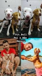 Título do anúncio: Pitbull - Staffordshire