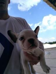 Bulldog Francês Lindo