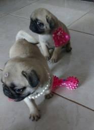 Filhotes de Pug com pedigree excelente linhagem