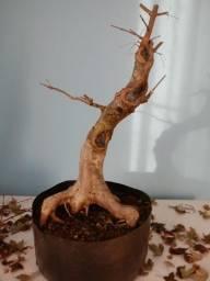 Título do anúncio: Pré Bonsai Acer Kaede-Buergerianum