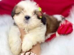 Fofuras de Filhotes Mini Shih tzu com pedigree