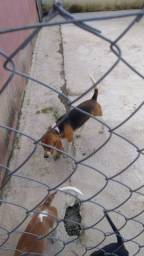 Beagle macho com pedigree. Para cruza.