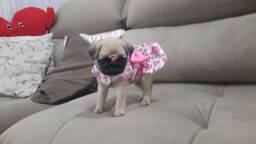 Promoção Só HJ! ULTIMA fêmea Pug disponível