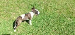 Cão Bull terrier