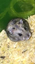 Hamsters chinês / anao russo 5
