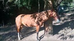Cavalo crioulo 5 anos documentado bem domado manso pra qualquer pessoa anda