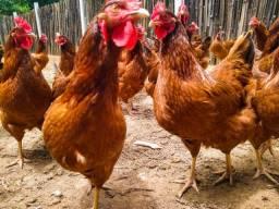 Vendo galinhas Caipiras Embrapas 051