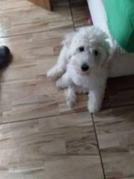 Poodle com 4 mês