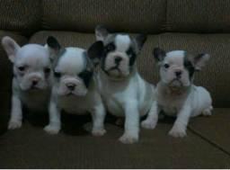 Lindos filhotes de bulldog francês LEIA