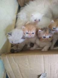 Gato persa para reserva
