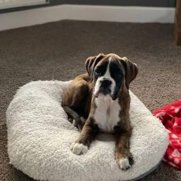 Boxer com suporte veterinario gratuito